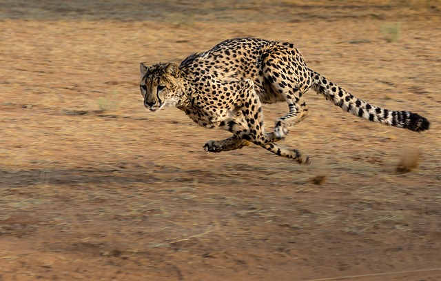 běžící gepard