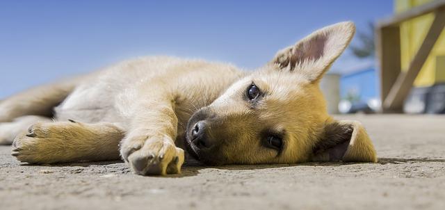 ležící štěně.jpg
